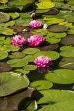 Lotus; lotos; näckros; candock; nenuphar; Arkivbild
