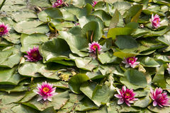 Lotus; lotos; water lily; candock; nenuphar ; Royalty Free Stock Image