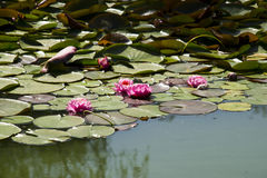 Lotus; lotos; water lily; candock; nenuphar ; Stock Images