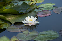 Lotus; lotos; water lily; candock; nenuphar ; Stock Photo
