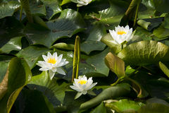Lotus; lotos; water lily; candock; nenuphar ; Royalty Free Stock Photography
