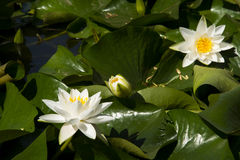 Lotus; lotos; water lily; candock; nenuphar ; Royalty Free Stock Images