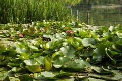 Lotus; lotos; waterlelie; candock; nenuphar; Royalty-vrije Stock Afbeelding