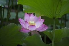 Lotus Lotus Photographie stock libre de droits