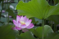 Lotus Lotus Στοκ φωτογραφίες με δικαίωμα ελεύθερης χρήσης