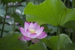 Lotus Lotus Στοκ εικόνες με δικαίωμα ελεύθερης χρήσης