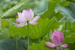 Lotus Lotus Image libre de droits