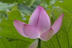 Lotus Lotus Στοκ εικόνα με δικαίωμα ελεύθερης χρήσης