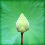 Lotus and lotus leaf Stock Photography