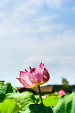 Lotus and the lotus leaf Royalty Free Stock Photography