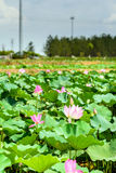 Lotus and the lotus leaf Royalty Free Stock Images