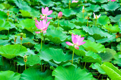 Lotus and the lotus leaf stock photography