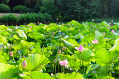 Lotus and the lotus leaf royalty free stock photo