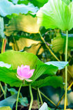 Lotus and the lotus leaf stock photos