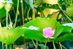 Lotus and the lotus leaf stock images