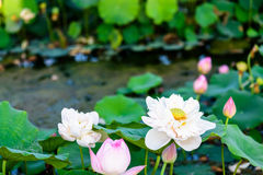 Lotus and the lotus leaf Royalty Free Stock Image