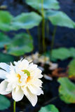 Lotus and the lotus leaf Royalty Free Stock Photos