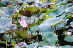 Lotus Among Lotus Leaves. Lotus Among Lotus Leaves In Natural Pond Royalty Free Stock Photos