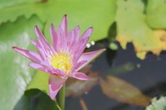 Lotus and lotus leaves in pool Royalty Free Stock Images