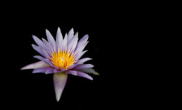 Lotus and Lotus lotus plant flower black background . White water-lily isolated on a black background Stock Photography