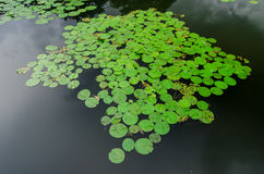 Lotus and lotus ponds. The lotus pond. There are a lot of lotus Stock Photos