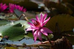 Lotus lub wody Lilly kwiat zdjęcia stock