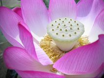 Lotus Macro. Soft pink lotus macro  taken from zen garden in japan Stock Images