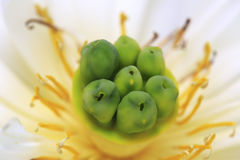 Lotus macro Royalty Free Stock Photo