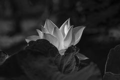 The lotus Royalty Free Stock Photo