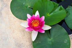 Lotus magenta dans la piscine Image stock