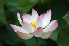 Lotus in the morning light royalty free stock photos