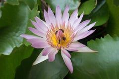 Lotus med biet inom Royaltyfria Foton