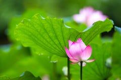 Lotus med det gröna bladet Royaltyfria Foton