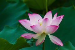 Lotus med det gröna bladet Arkivbild