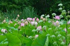 Lotus-meer in het hout royalty-vrije stock fotografie
