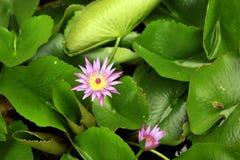Lotus menchie Fotografia Royalty Free