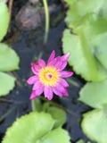 Lotus menchie kwitną nadwodnego kolor żółtego zdjęcia royalty free