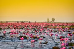 Lotus menchii łódkowaty odwiedza zmierzch i wschód słońca Zdjęcia Royalty Free