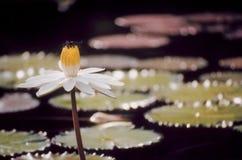 Lotus met een libel Stock Foto's