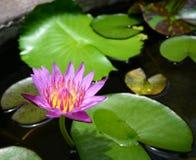 Lotus met groene bladeren Stock Afbeeldingen