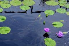 Lotus met waterlelie Royalty-vrije Stock Foto