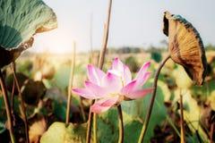 Lotus met zonlicht Stock Foto