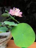 Lotus mis en pot Image stock