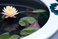 Lotus mis en pot images libres de droits