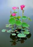 Lotus mit Reflexion stockbild