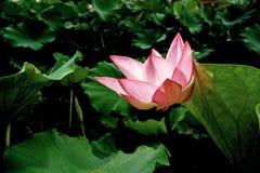 Lotus mit Sonnenlicht Lizenzfreies Stockfoto