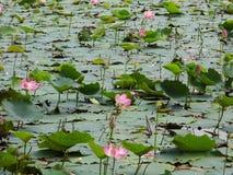 Lotus-moeras stock foto