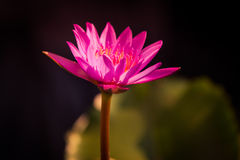 Lotus morgon Royaltyfri Fotografi