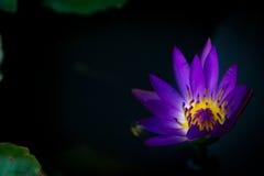 Lotus morgon Royaltyfri Bild