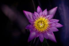 Lotus morgon Arkivbilder